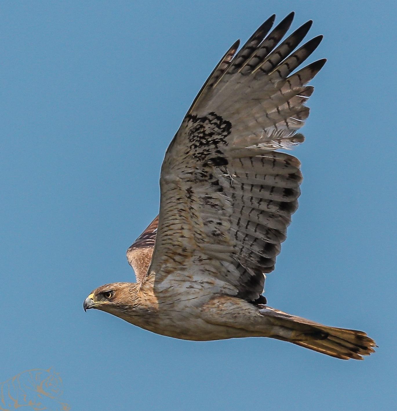 Bonelli's Eagle .jpg