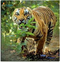 Tiger running.jpg