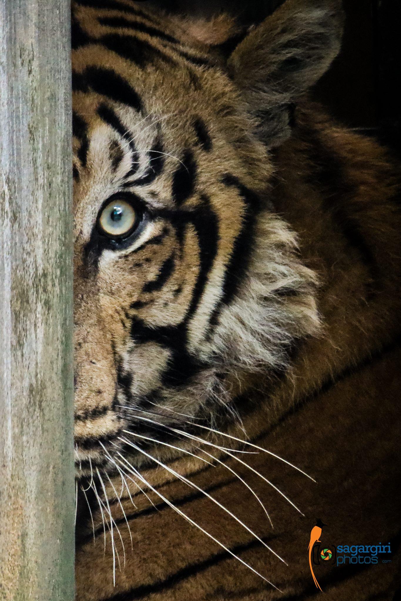 tigr watching.jpg