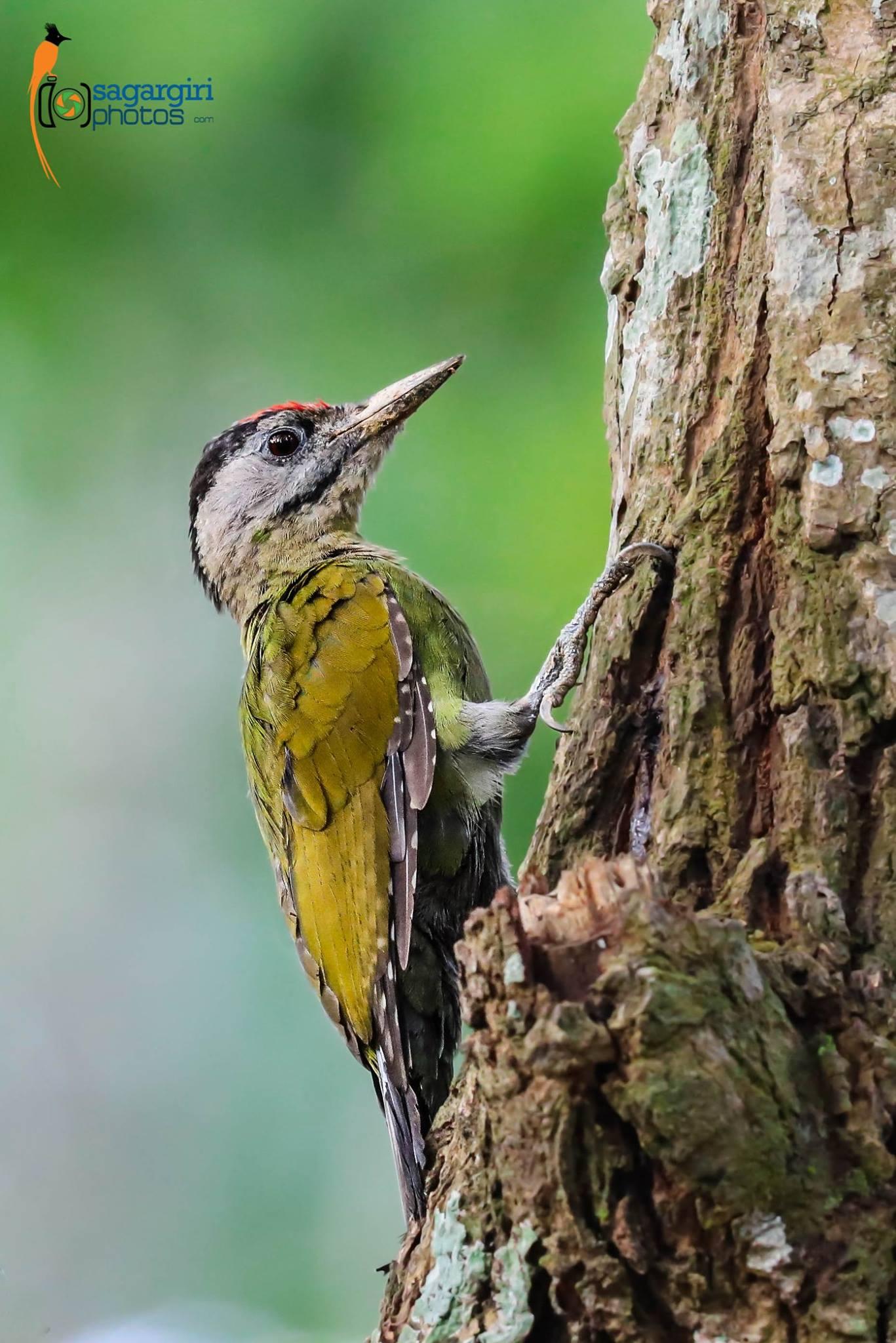 Grey Headed Woodpecker.jpg