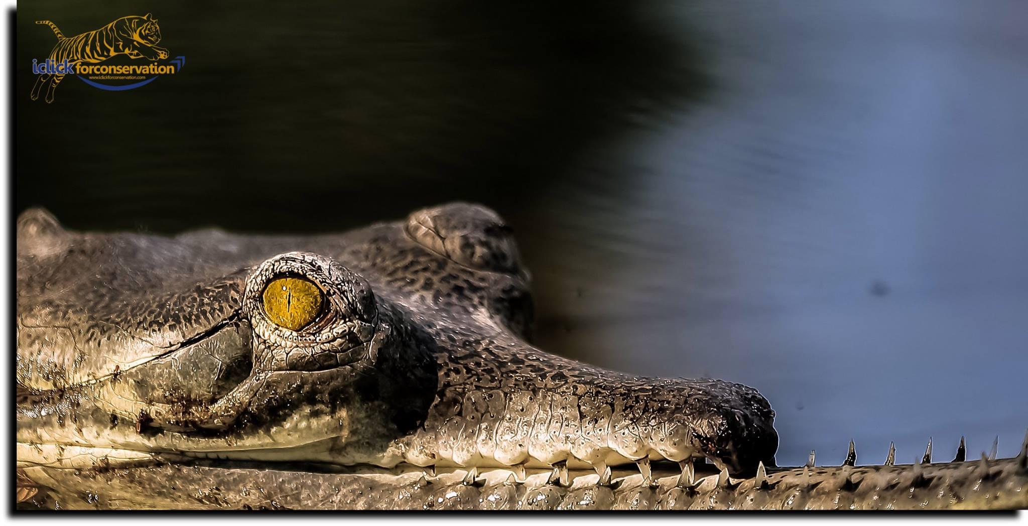 Garhial Crocidile.jpg