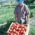 alexs-tomatoes.jpg