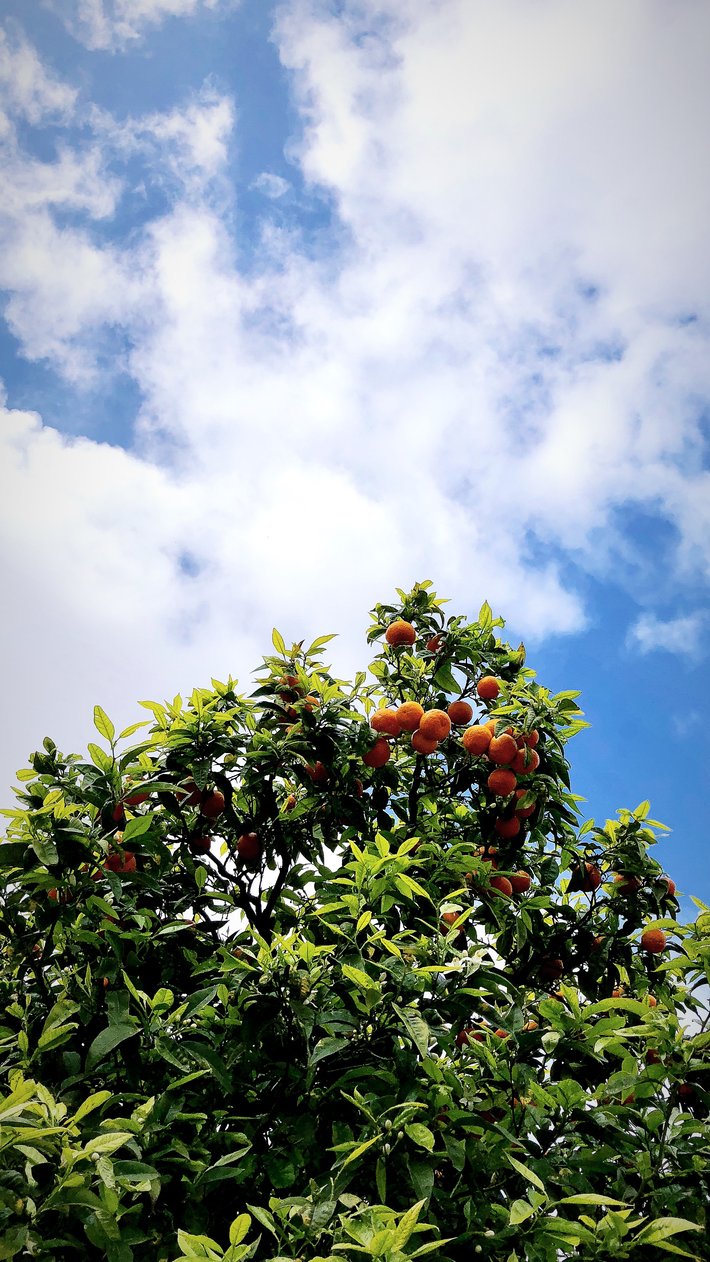 orangetree-alantherock.jpg