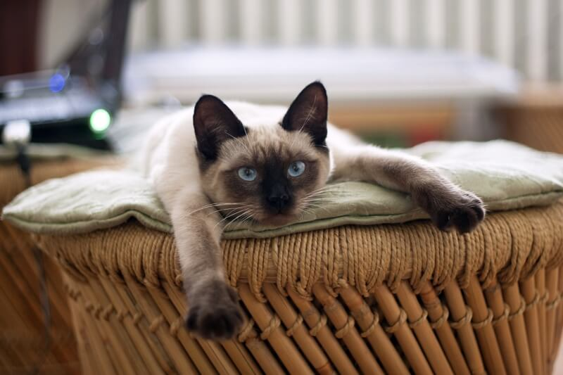 Facts about Siamese Cats