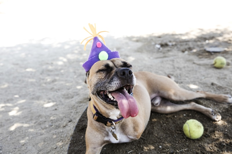 specially-abled+pet+success+stories+_+three-legged+boxer+mix+smiling+wearing+a+birthday+hat-min.jpg