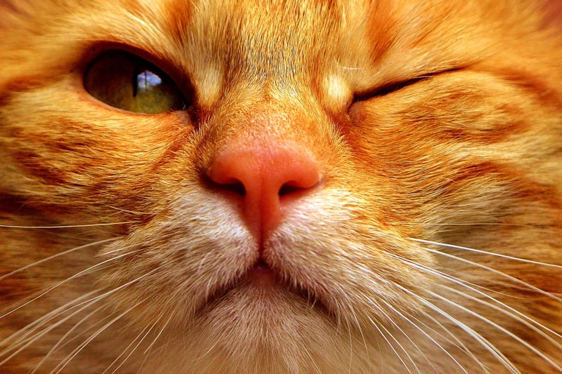 corneal+damage+and+eye+inflammation+in+cats+_+orange+tabby+cats+with+green+eyes+winking-min.jpg
