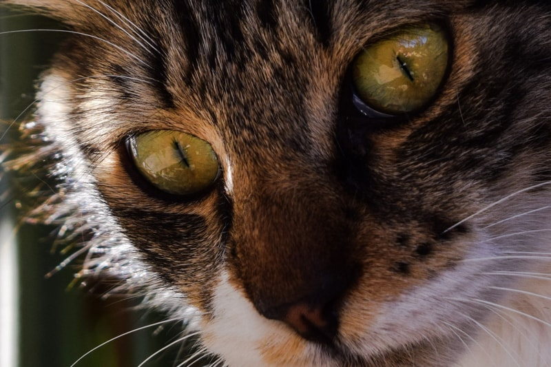 glaucoma+entropion+and+keratitis+in+cats+_+tabby+cat+with+green+eyes-min.jpg