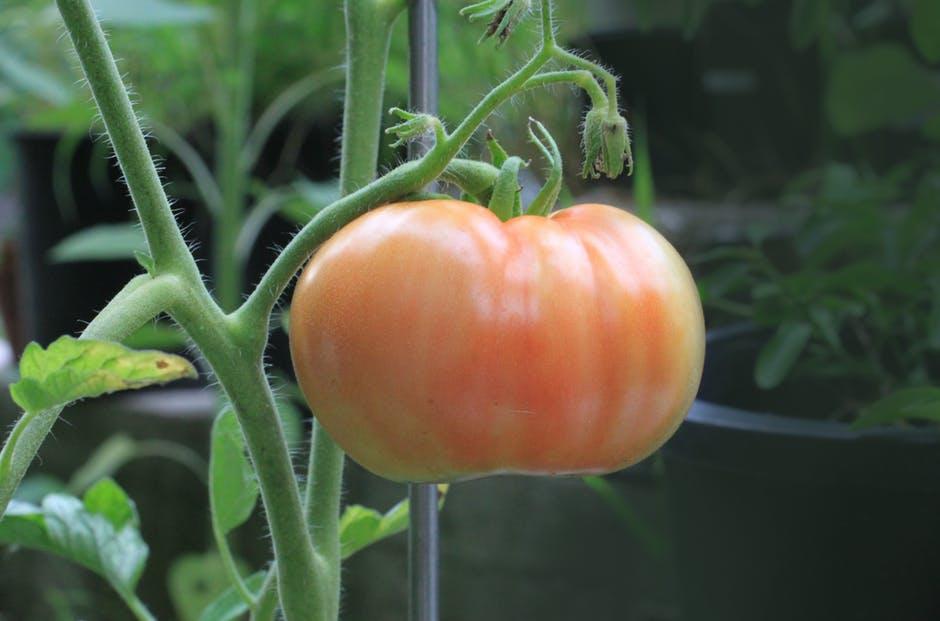 farm-wife-tomato.jpg