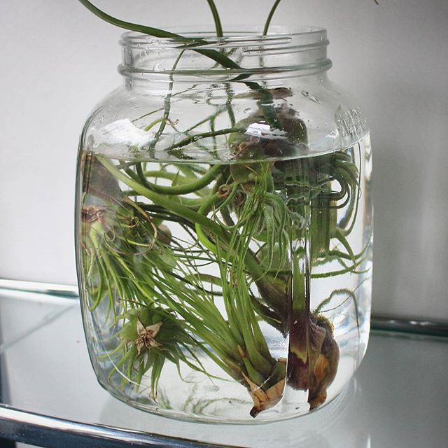 #tillandsiatuesday You've seen my time lapses of air plants, now read my care guide (link in profile). Quick summary: give air plants the right kind of light and water accordingly.  If your air plant isn't getting the right amount of light, then it doesn't matter how you water - the plant will die of starvation or rot.
