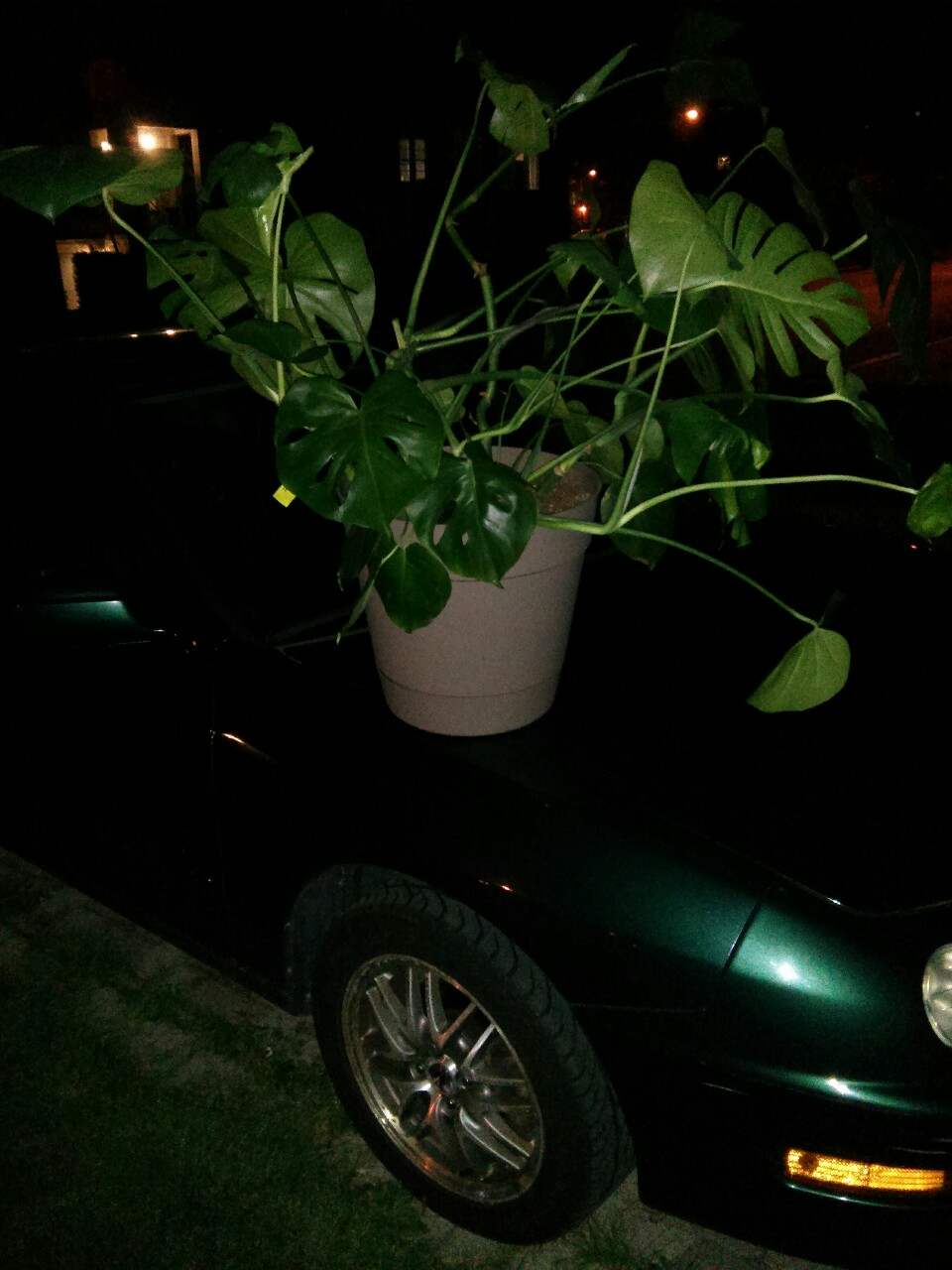 September 17, 2014 -  I responded to a classified ad for someone wanting to sell off this Monstera deliciosa because it was becoming too unruly for their small space. Asking price: $10