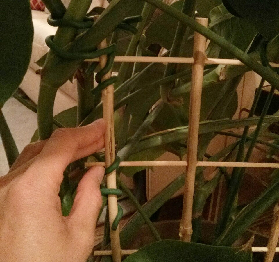 """It's not necessary for the aerial roots to actually attach themselves to something like a moss pole or tree trunk. I'm just holding them against the trellis with soft rubber ties. Just google """"soft rubber ties"""" and you'll find them - they are super useful and you can cut them to the required length."""