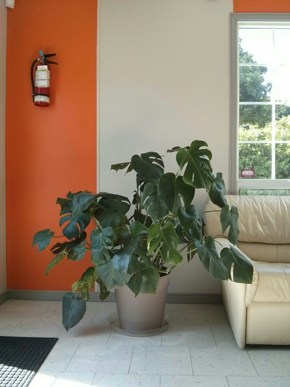 Don't worry, monstera! I'll be seeing you every week - this place has more space for you to grow and better light. LEFT: a west-facing windowed door. BACK RIGHT: a large north-facing window.