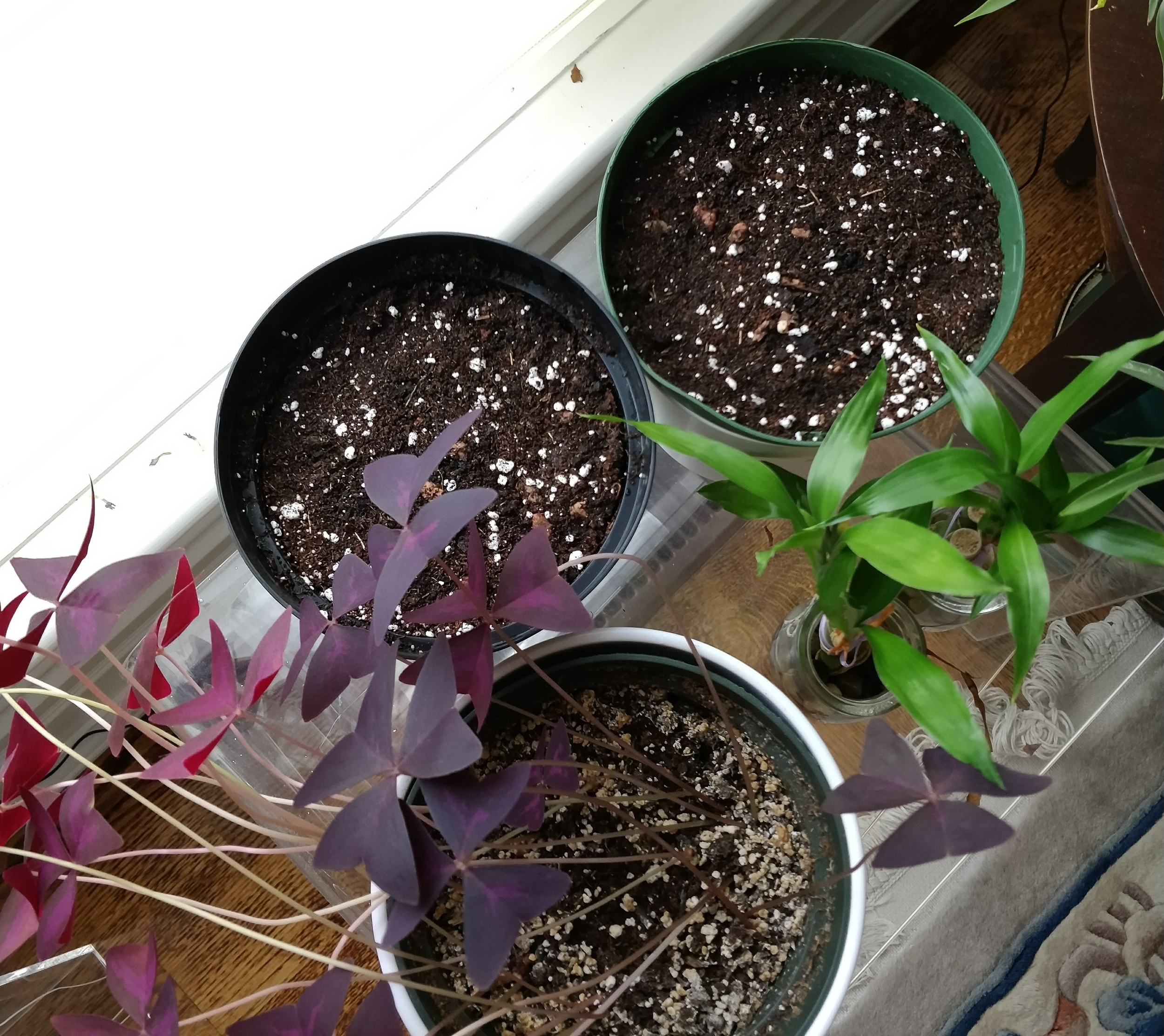 November 11, 2017 - Here are the newly planted oxalis pots sitting next to my currently established purple oxalis plant.  I'm excited to see the new colors/patterns!