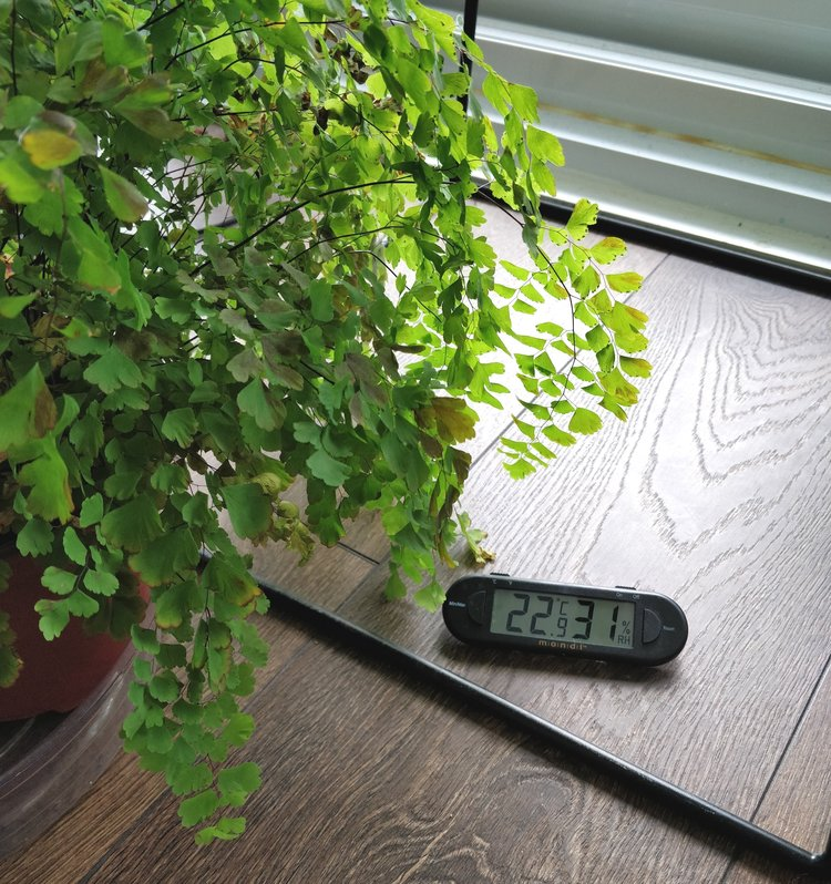 """My maidenhair fern has grown just fine at supposedly """"low humidity"""" because the other, more important factors for growth (namely light and soil moisture) were optimal."""