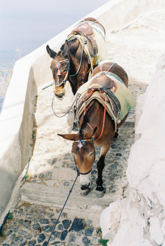 Donkeys in Santorini, Greece