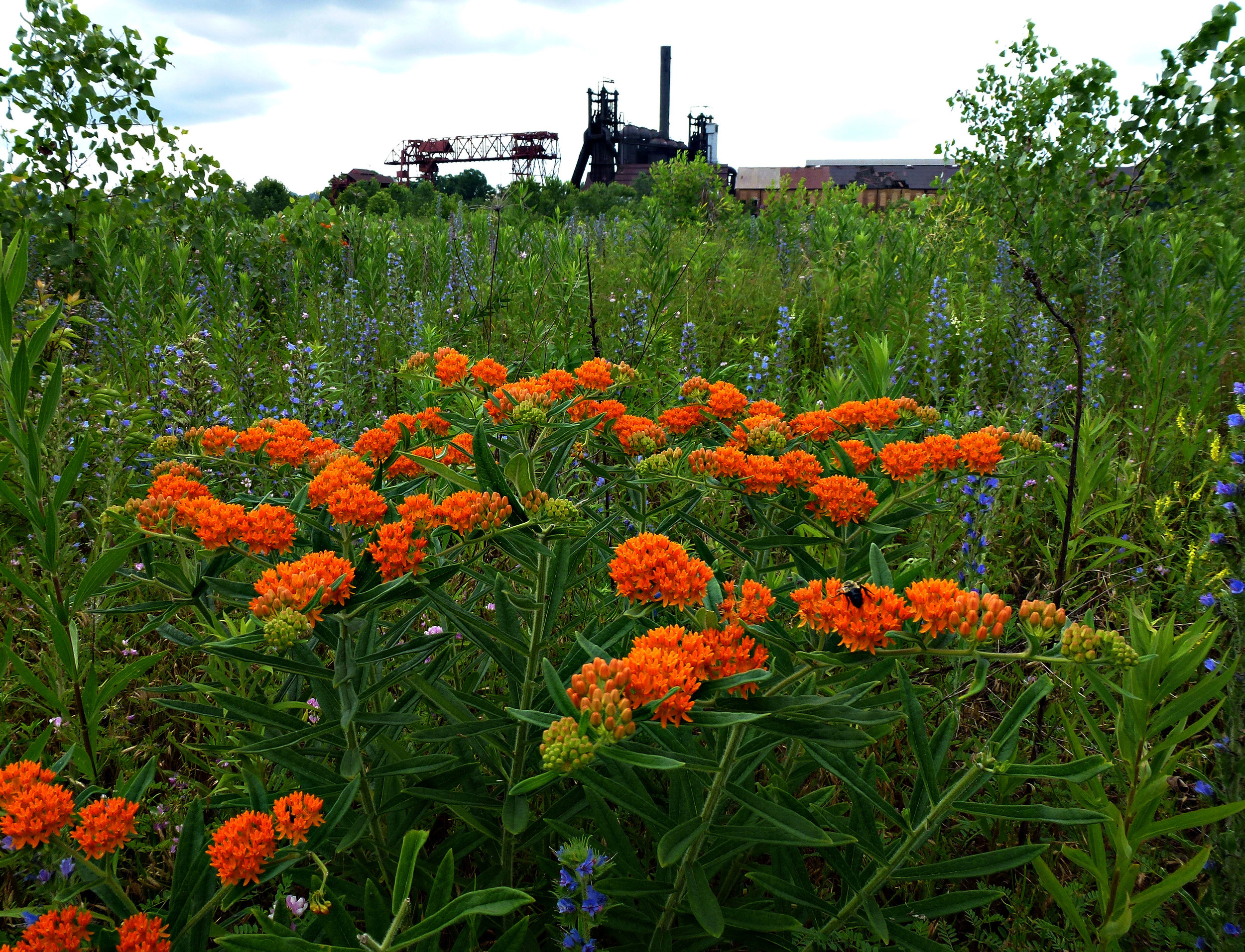Kevin Scanlon - Carrie Butterfly Weed..jpg