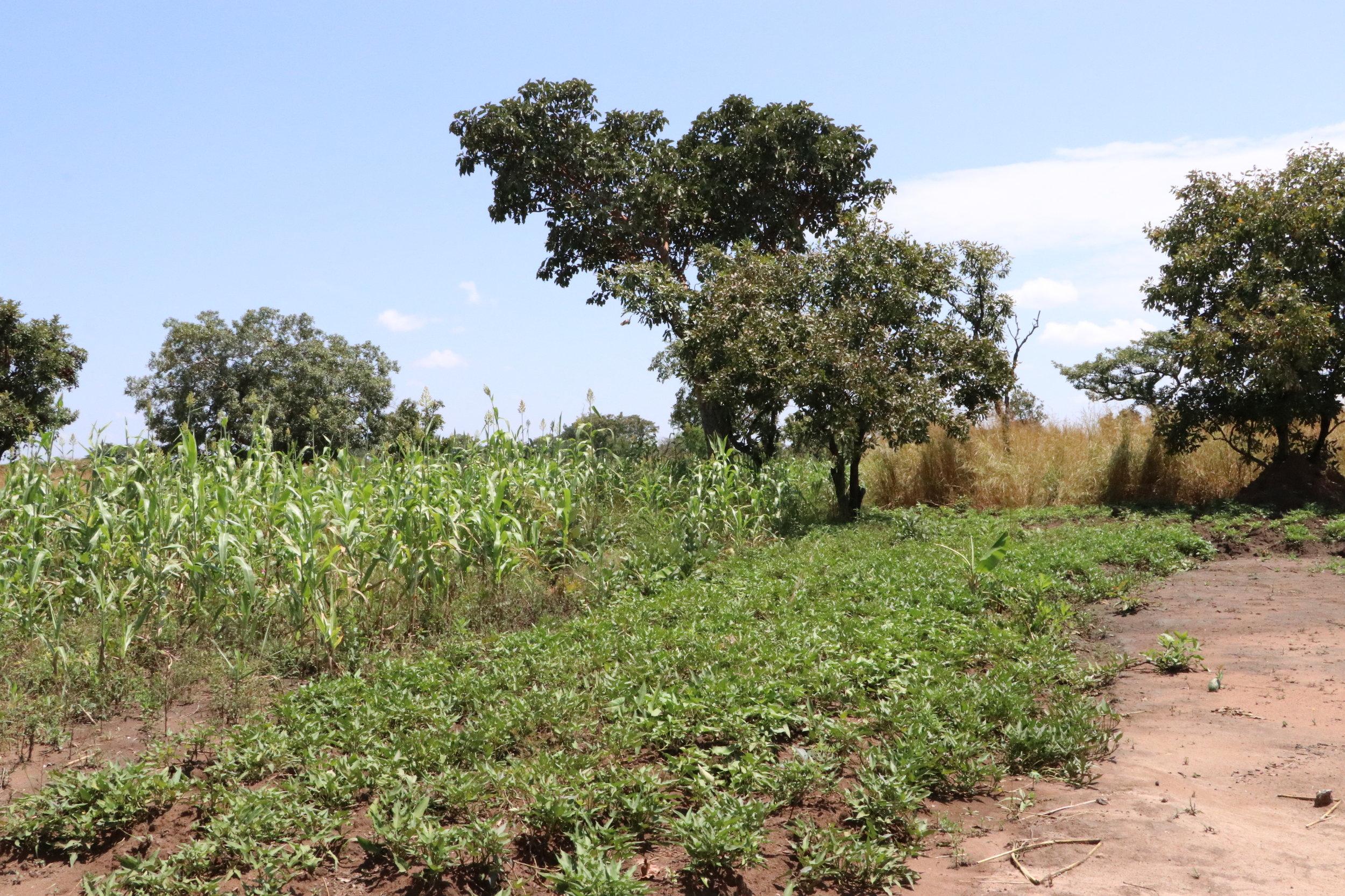 Corn and Cassava