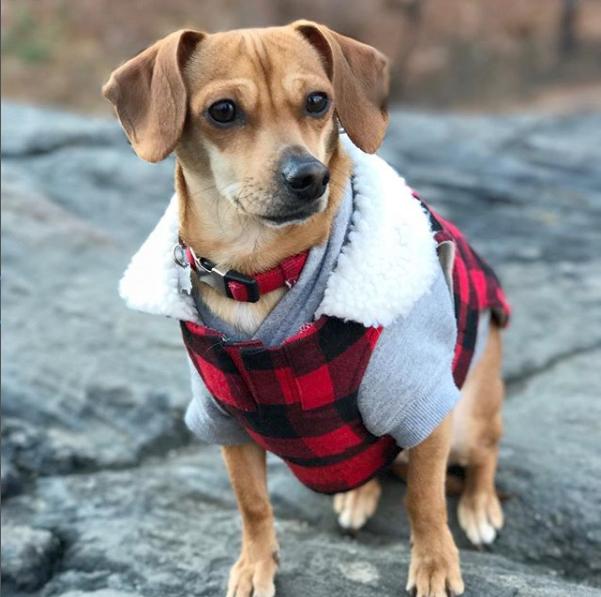 OLLIE  NYC Office Dog