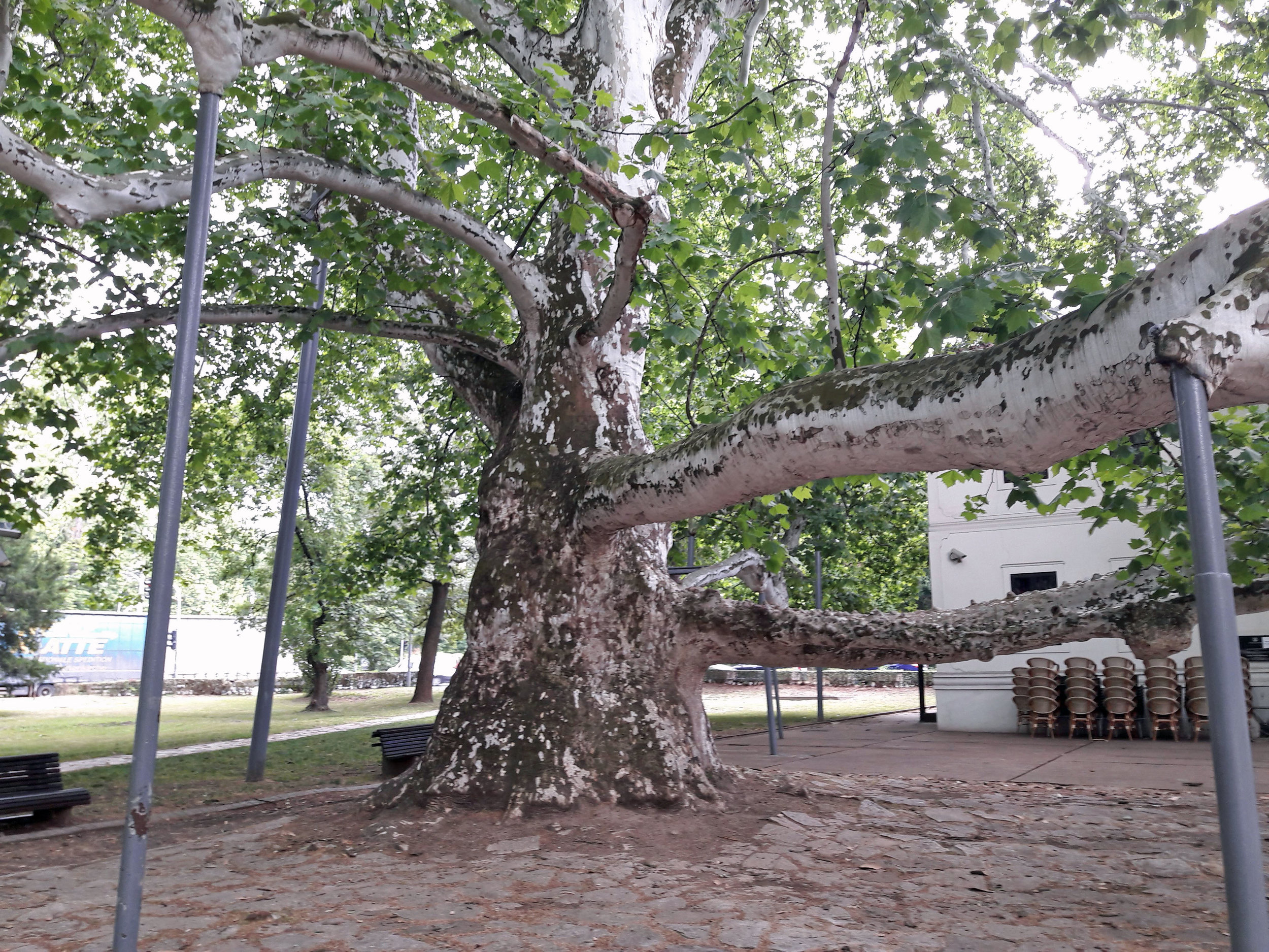 The London Plane Tree in Topčider Park, Belgrade