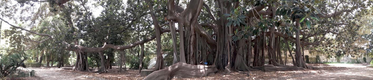 Giant Fig Tree at Palermo's Botanical Gardens