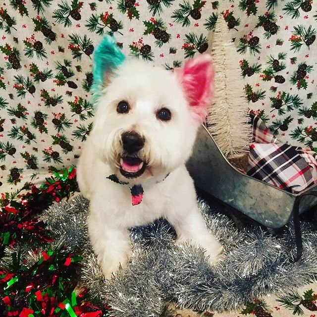 VERRY MERRY CHRISTMAS FROM ALL OF US AT MARCIES PET SPA!! #merrychristmas #color #groomer #grooming #westie #riponwi #handsome  #marciespetsparipon