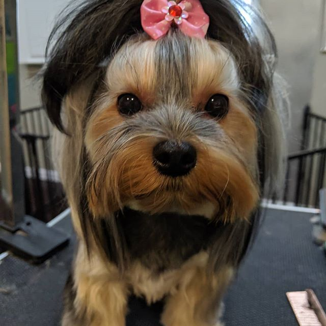 Cosette enjoyed her very first spa day today.  She was ready for a nap before we were even done with her haircut. ❤️ #yorkie #marciespetsparipon #riponwi #grooming #asianfusion #toocute