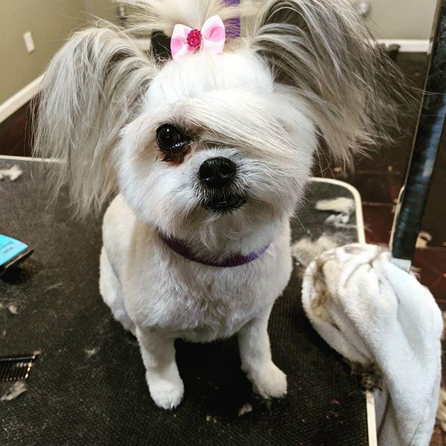 Feeling fancy! #marciespetsparipon #grooming #riponwi #cute #ponytail #