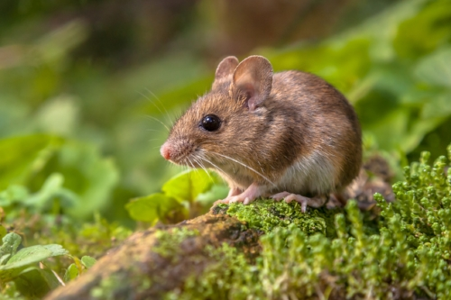 Nature-vs.-nature-at-odds-in-aggression-of-male-mice.jpg