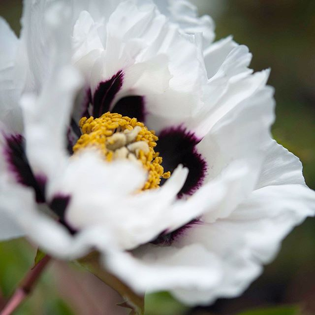 This is a very rare peony called Xiong Mao 👀 what makes this variety unique is that the blotches/flares come through the petals onto the back - this is very unusual 😍it's roughly  translated name is panda 🐼 #tree #treepeony #peonytree #xiongmao #peonytrees #plants #treepeonies #white #treepeonys #mygardentoday #floweroftheday #peonyflower #peonylove #rockii #peonyrockii #whiteflowers