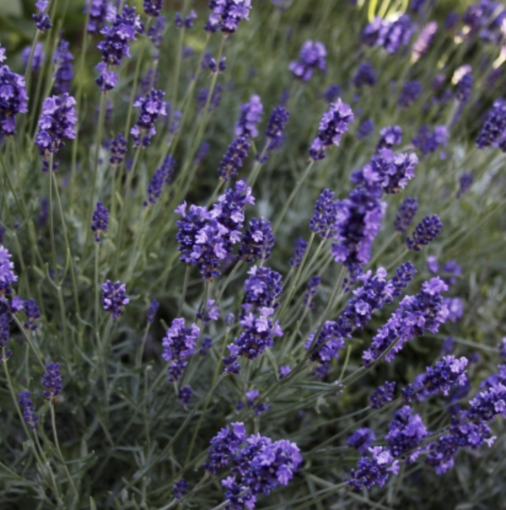 """Lavender wreaths - Three Pheasant Farm on Tuttle Lane has a spectacular lavender field, and when the lavender is in season, it presents an amazing sensory experience. The """"photo op"""" is worth the trip alone: the huge lavender field is in the foreground, with Orcas Island and the Strait of Juan de Fuca in the background. Pick your own lavender bundles, bring them to REC Retreats and create a wreath with your harvest.2 hours$105/person + $40/each additional person"""