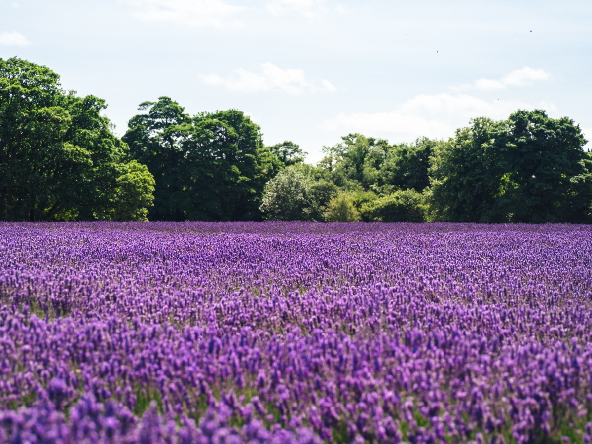 Optimized-lavender field.jpg