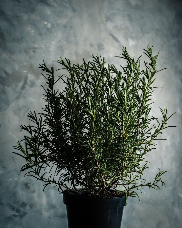 Optimized-rosemary.jpg