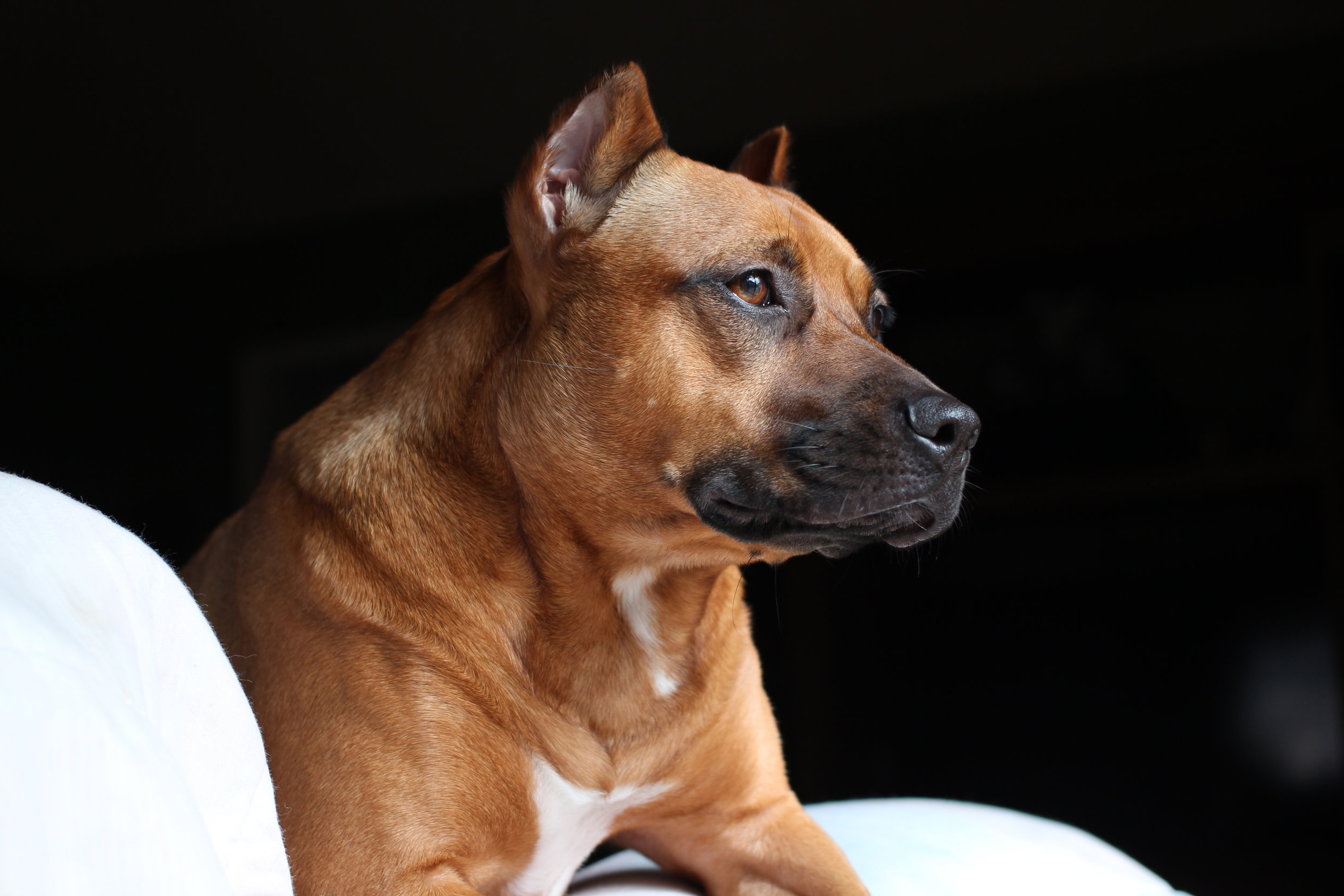 Dr. Lore Haug is a dog trainer and veterinarian- here is her dog Sunny the pitbull.