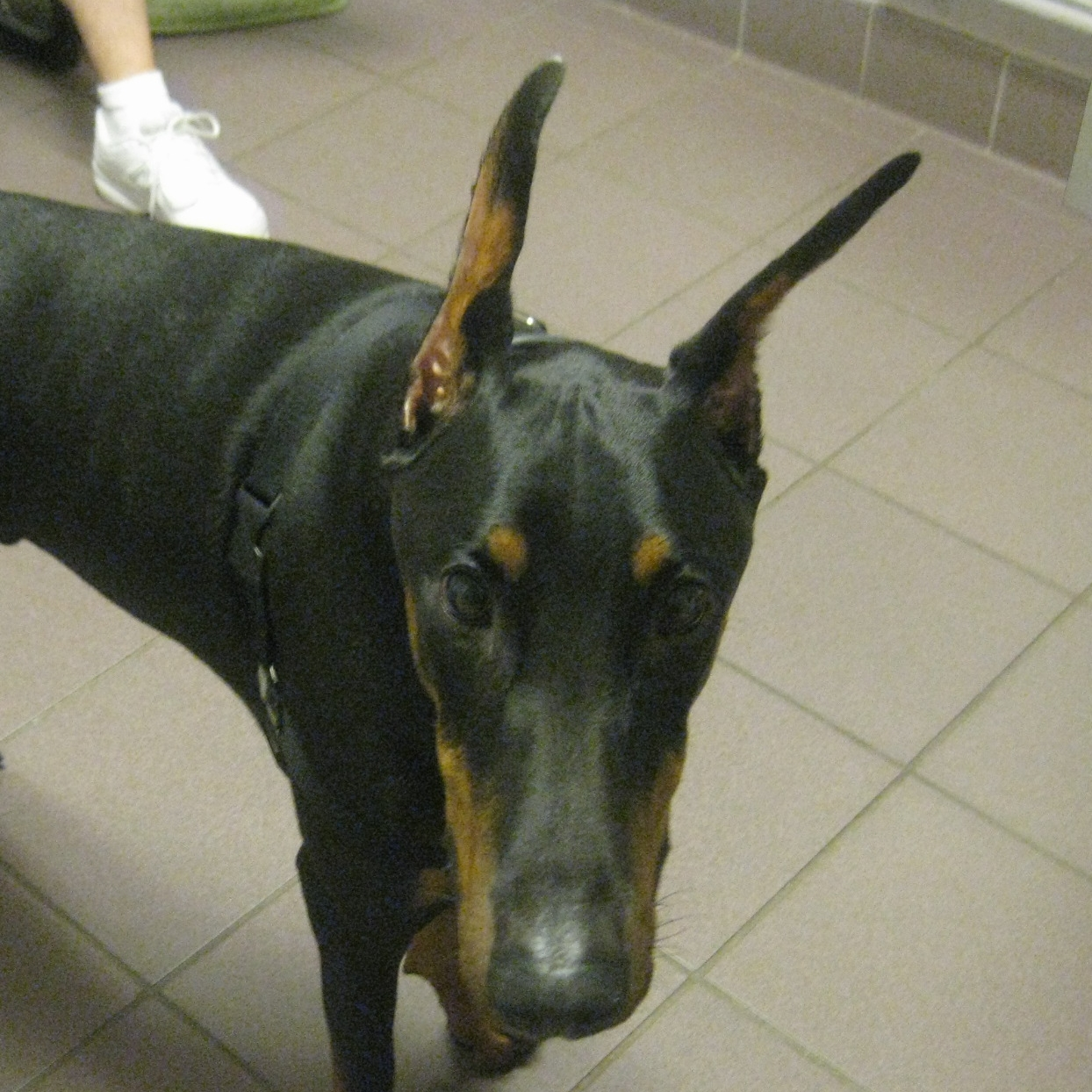 Viktor, Beverly, and Tim- doberman dog aggression, resource guarding, thyroid issue.