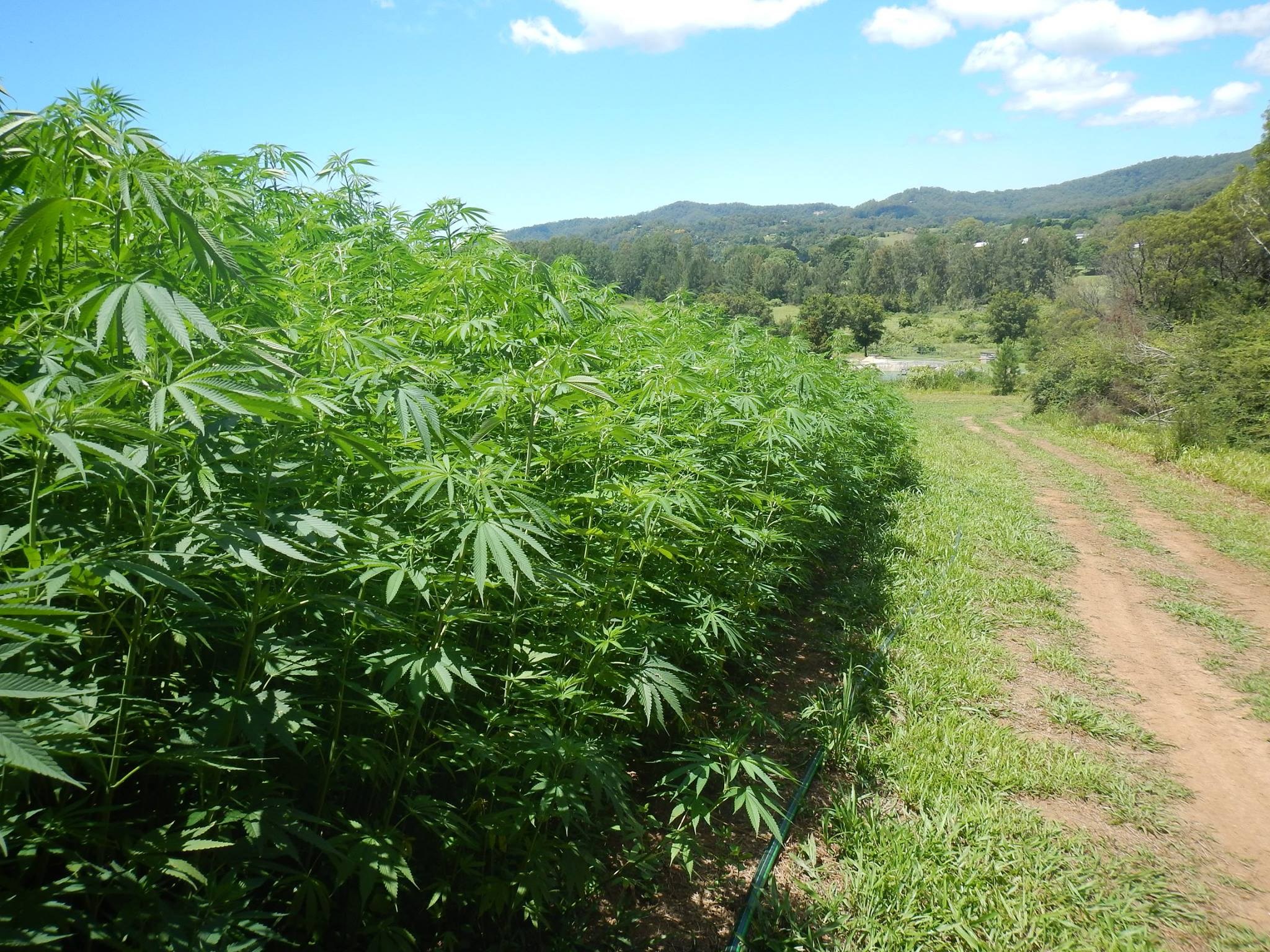 QLD Hemp Farm featured on Hemp Gallery Australia