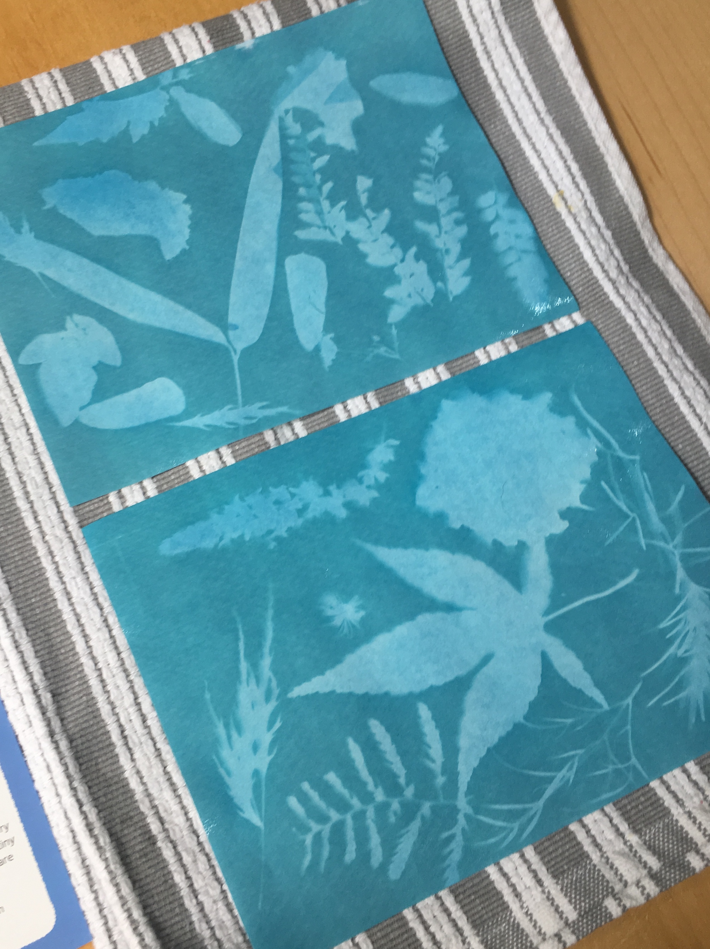 Making a nature sun print: Letting the image dry