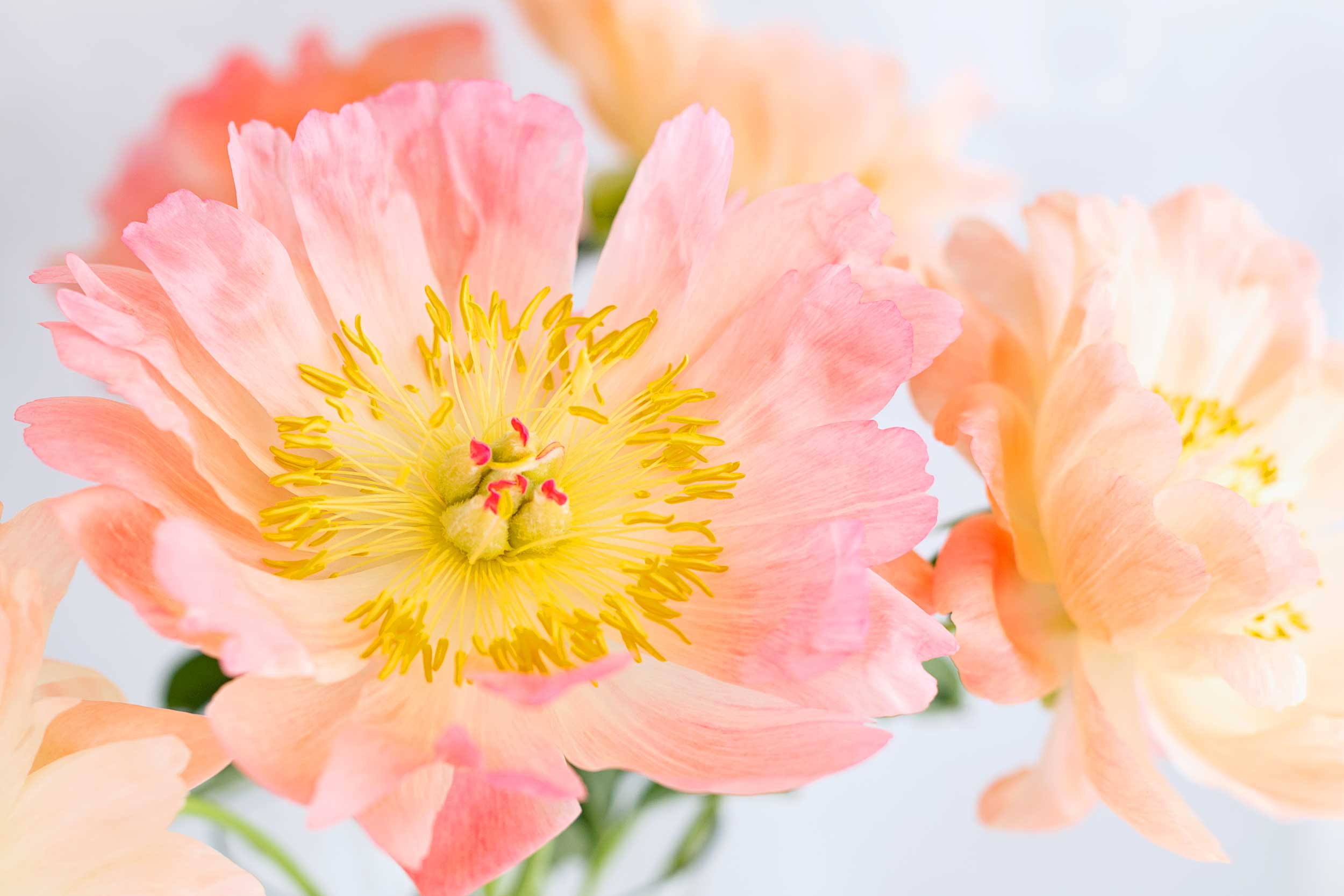Cropped-peony_LouiseHowell