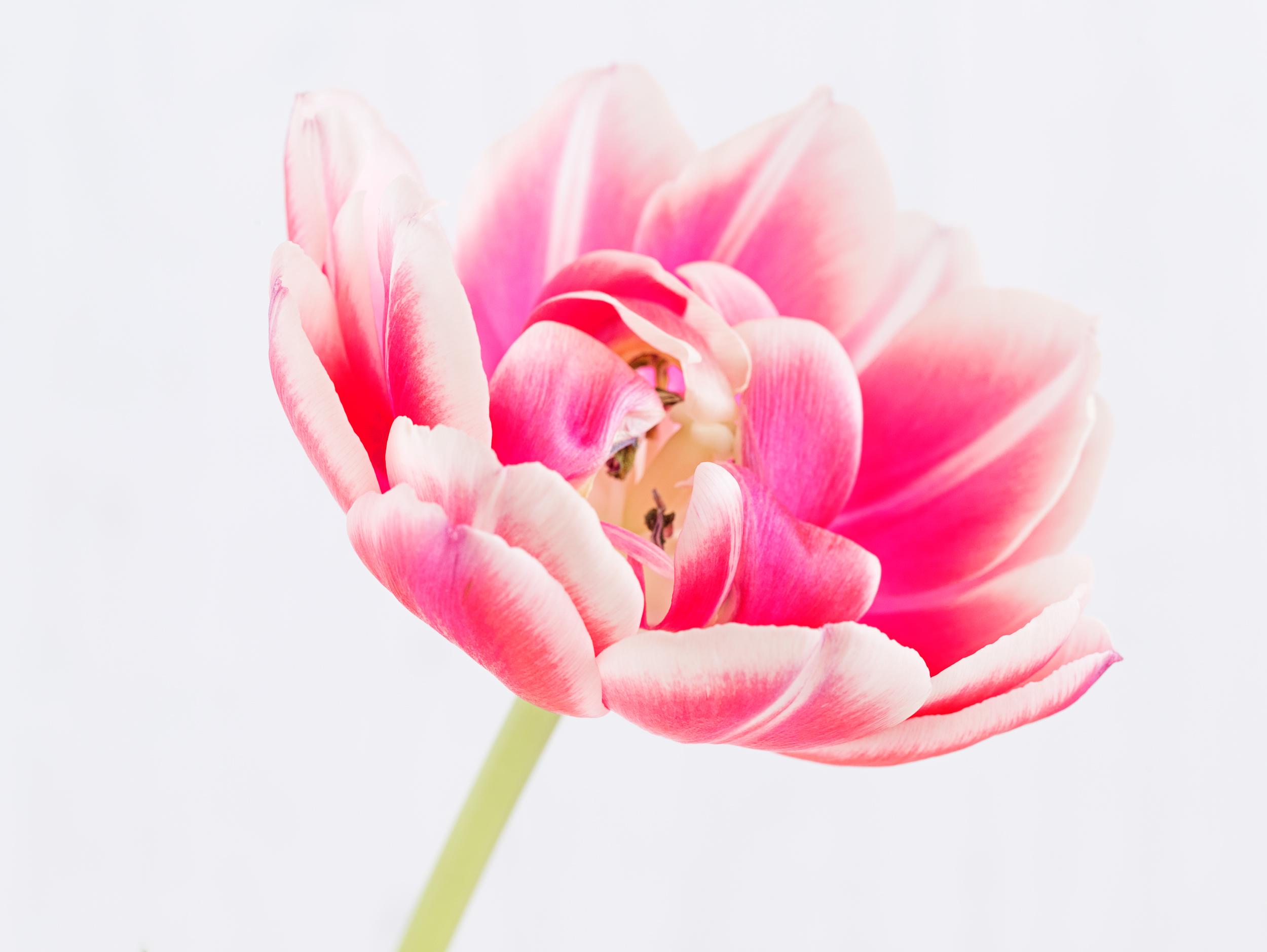 Tulip_MG_7194.jpg
