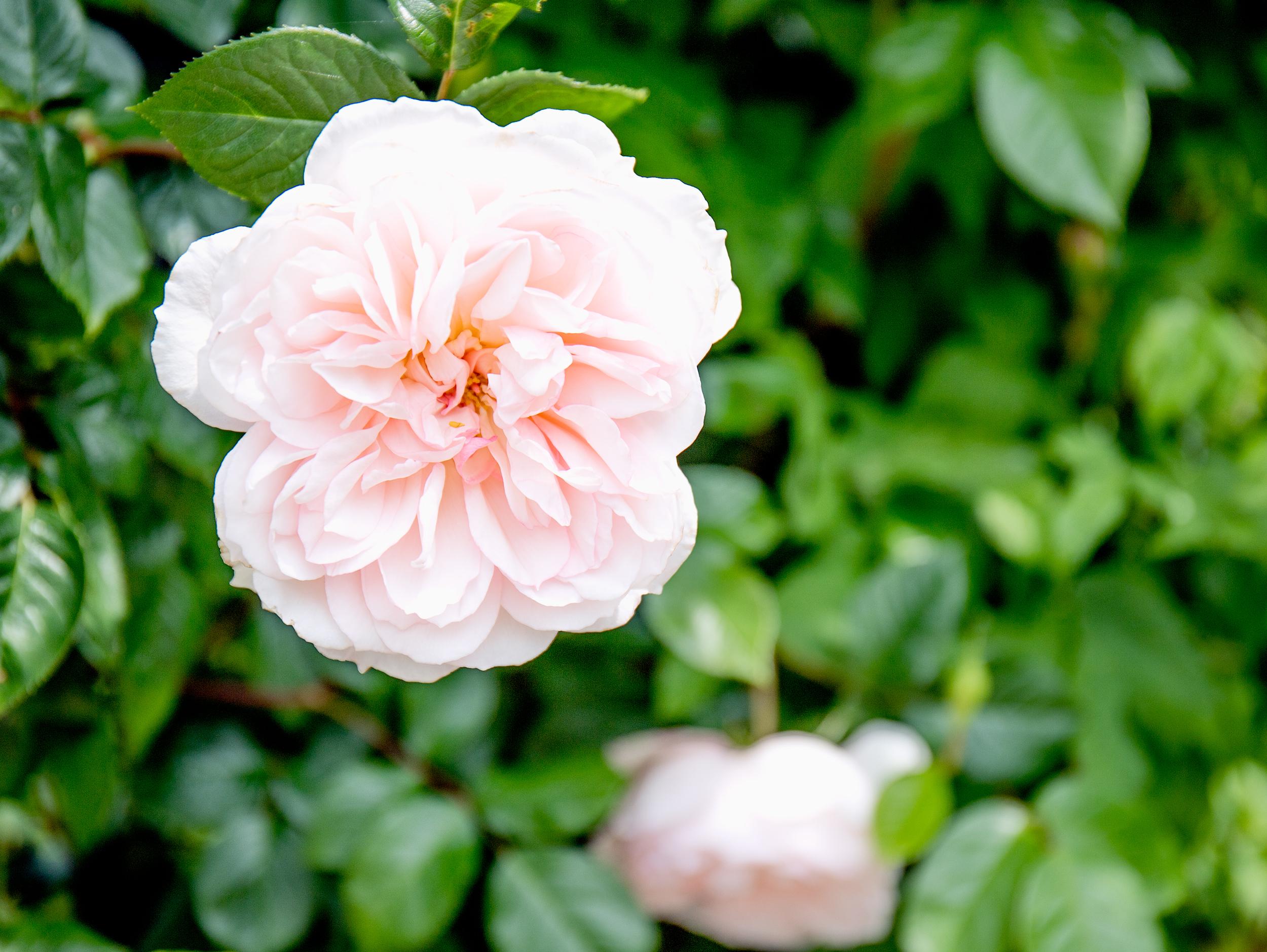 Rose_8176.jpg