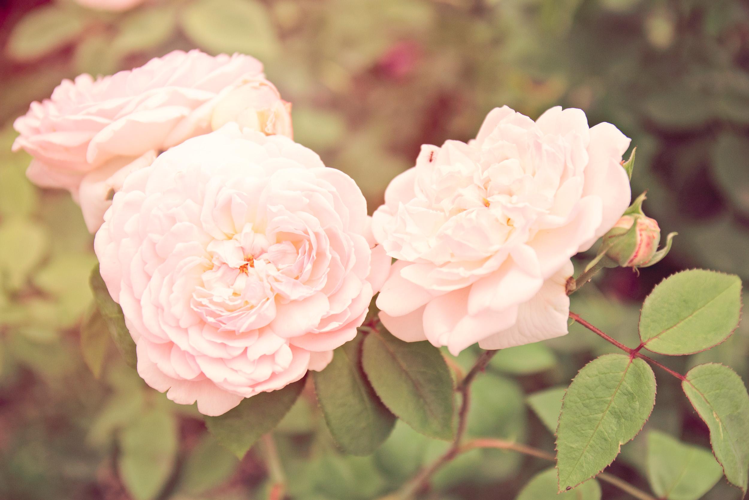 vintage_Rose-9050.jpg
