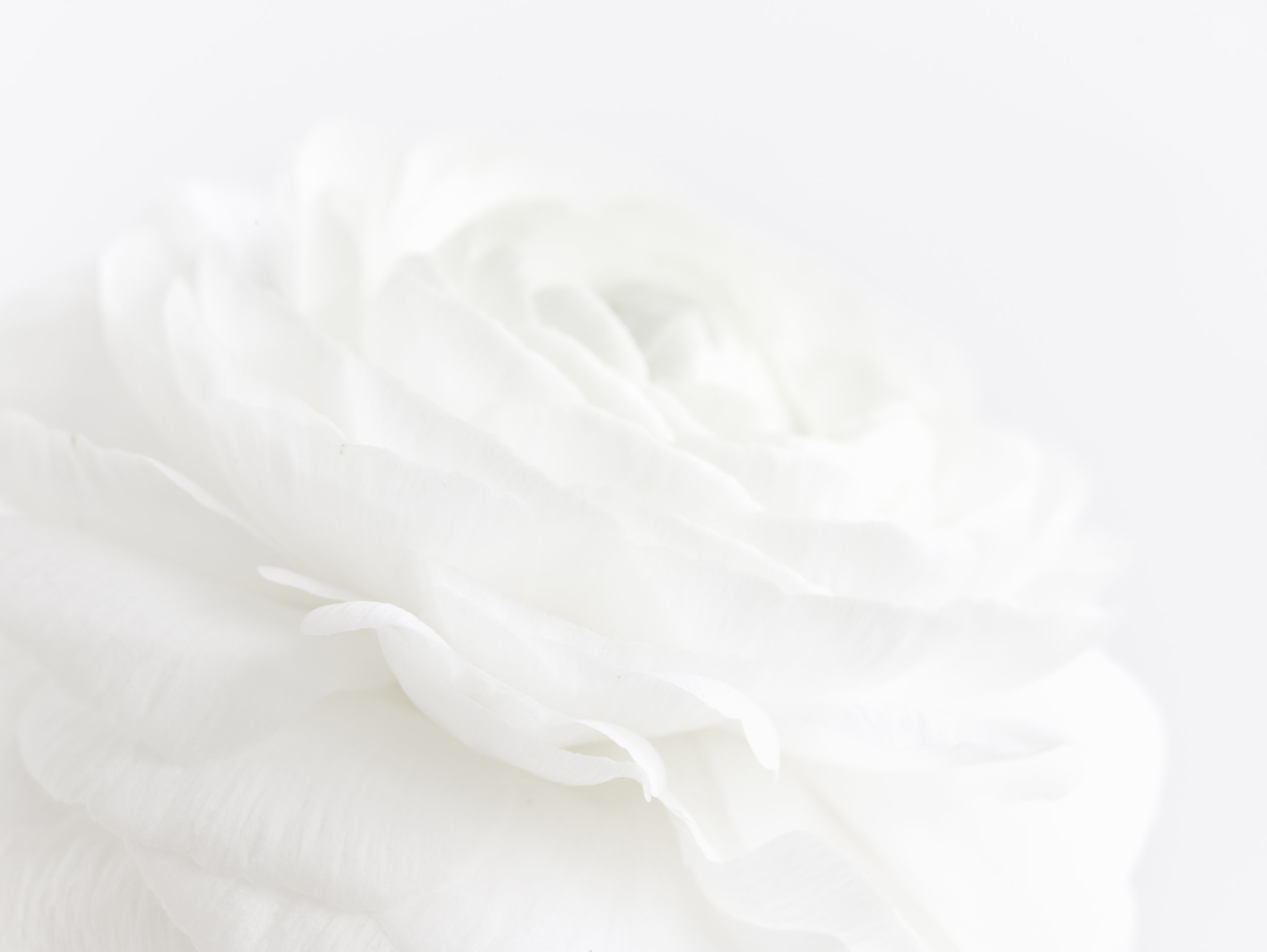 White_Ranunculus_Flowers_-7201.jpg