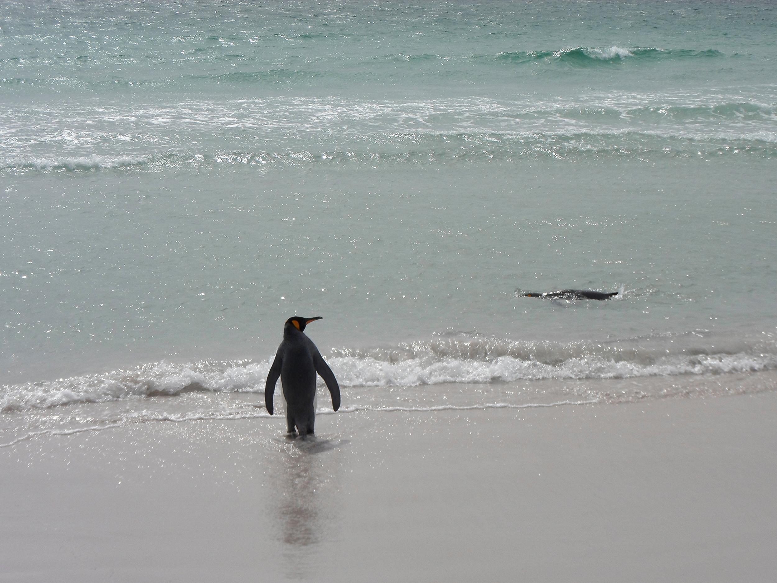 Penquin_Falklands_Chris-0144.jpg