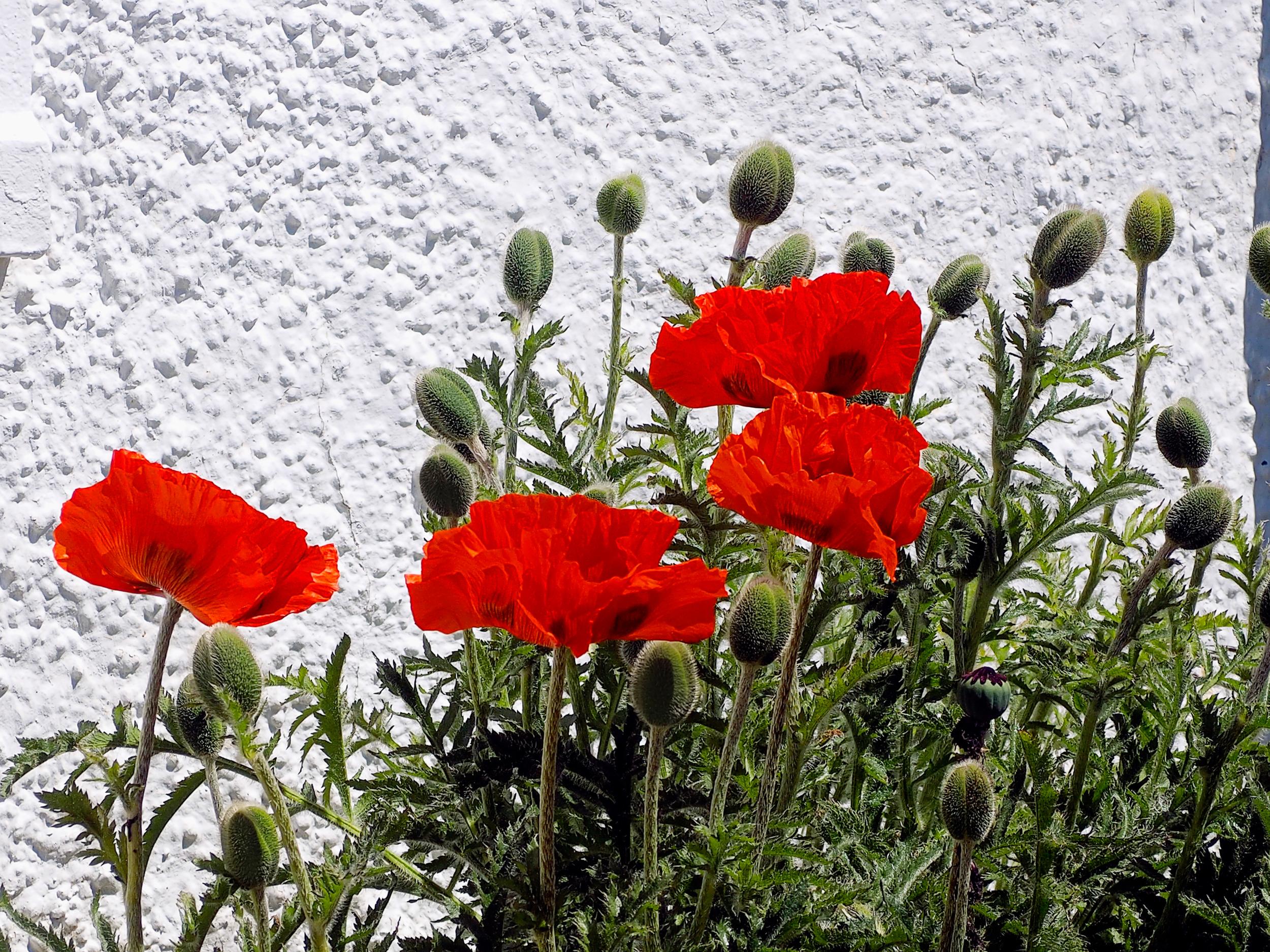 Poppies_B280691.jpg