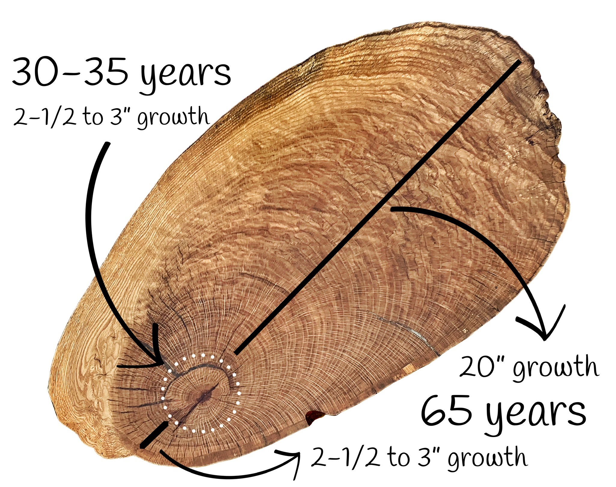 "Figure 2 :  Tension wood growth (upside)  - 20"" growth/65 years;  Compression wood growth (underside)  - 2-1/2"" to 3"" growth/65 years"