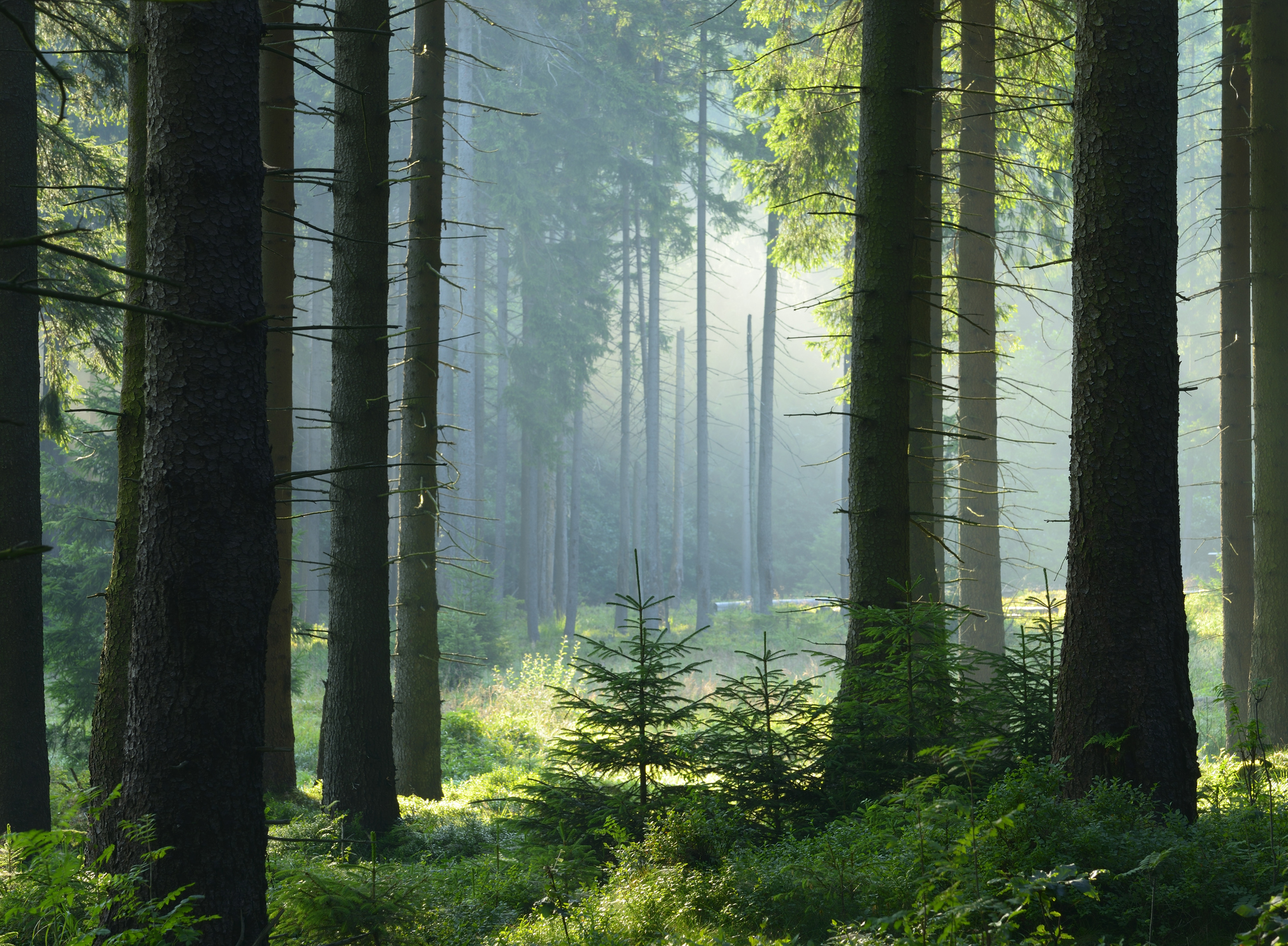 Sunlight seeps into a spruce forest.