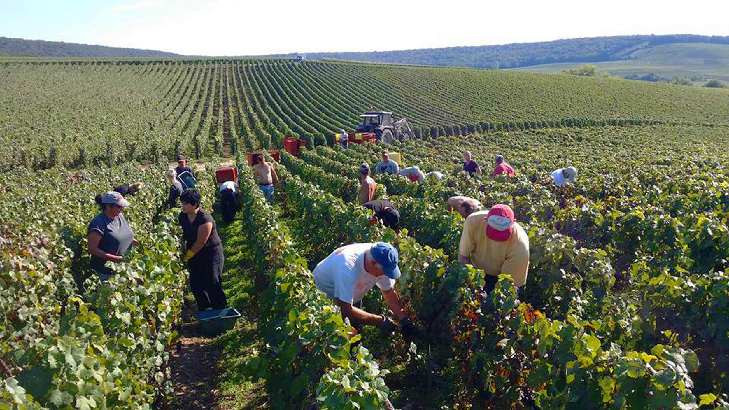 Champagne Picking_small.jpg