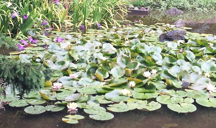 Lotus pond.jpg