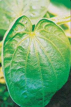 kava leaf.jpg