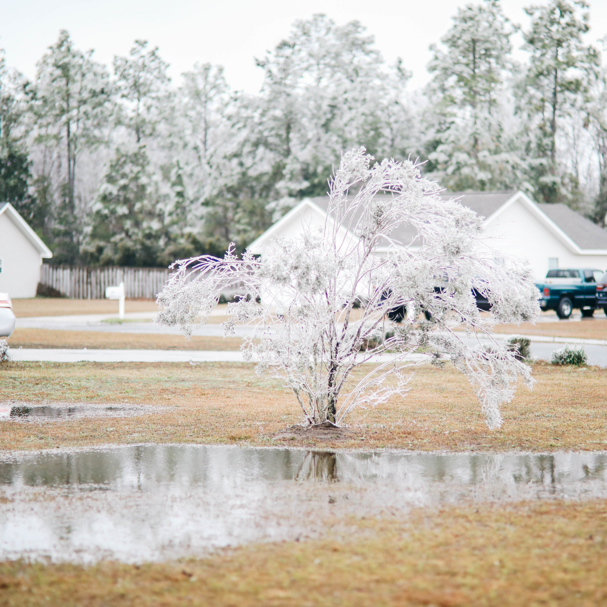 Limbs are weighed down in a resident's yard by heavy ice