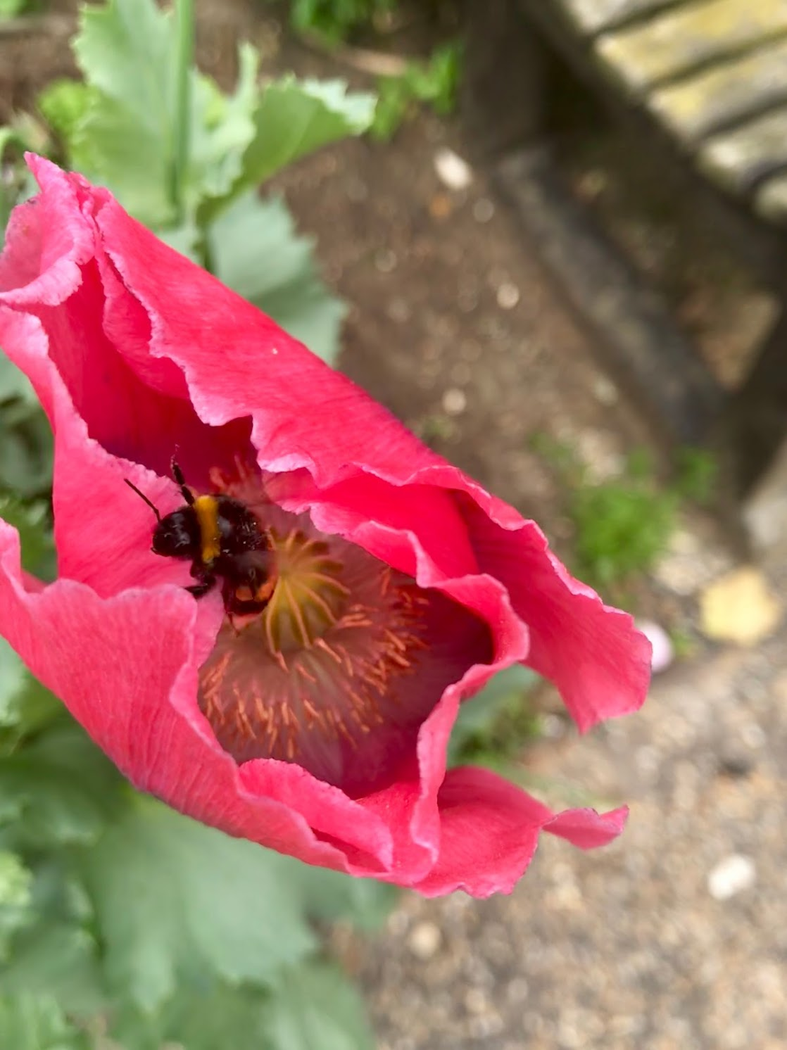 hyde park bee and pink flower.jpg